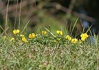 Lotus corniculatus- is it W IMG 6819