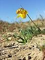 Lotus tenuis sl21.jpg