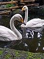 Lovely Swan.jpg