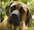 Luga English Mastiff.jpg