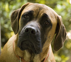 English Mastiff, Planet warming dog.