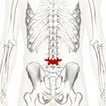 Lumbar vertebra 4 posterior2.png