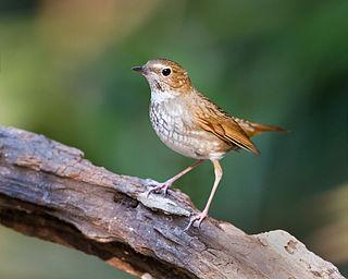 Rufous-tailed robin species of bird