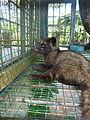 Luwak civette palmiste Paradoxurus hermaphroditus.JPG