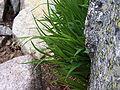 Luzula spadicea a3.jpg