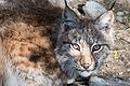 Lynx-9837 (17121926527).jpg