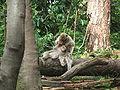 Macaca sylvanus 12 (Piotr Kuczynski).jpg