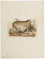 Macacus ecaudatus - 1833-1839 - Print - Iconographia Zoologica - Special Collections University of Amsterdam - UBA01 IZ20000053.tif