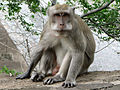 Macaque a longue queue.jpg