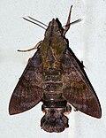 Macroglossum corythus Walker, 1856 (Sphindidae).jpg