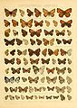 Macrolepidoptera01seitz 0161.jpg