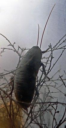 Macropanesthia rhinoceros. La blatta necrofaga gigante australiana.