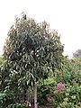 Magnolia doltsopa IMG 1957.jpg