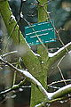 Magnolia x loebneri-DSC 7302.jpg