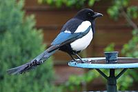 Magpie ''Pica pica''.jpg