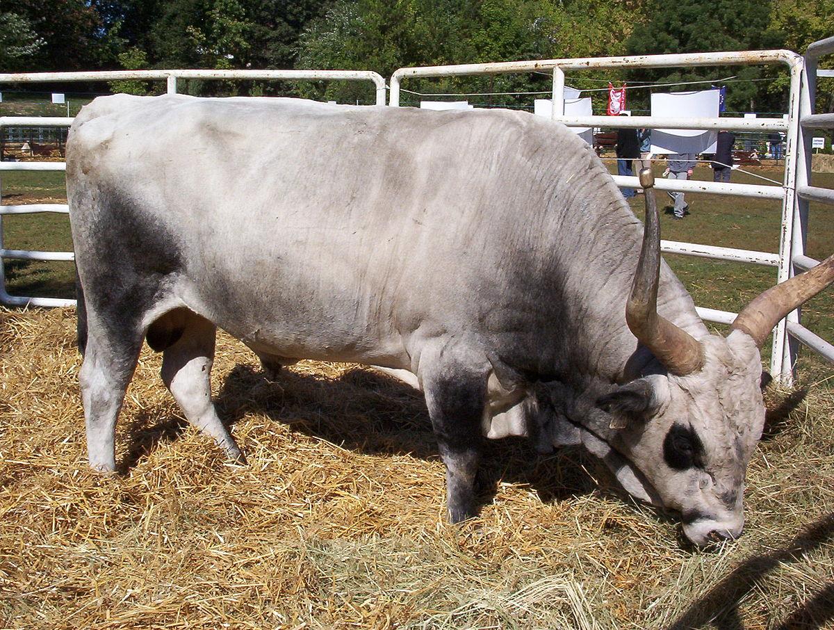 bika súlya)