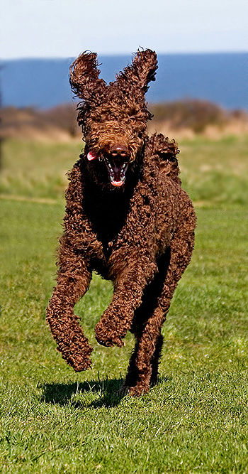 Brown Standard Poodle (Maisie, 22 months old, ...