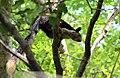 Malabar Giant Squirrel in Nagarjun Srisailam Tiger Reserve.jpg