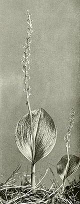 Malaxis monophyllos var brachypoda WFNY-f013.jpg