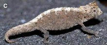 Male Brookesia confidens from Ankarana.png