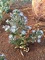Malesherbia humilis (37359463834).jpg