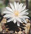 Mammillaria albiflora.jpg