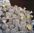 Mammillaria multiceps (26413017413).jpg