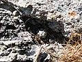 Mammillaria theresae (5702871538).jpg