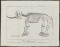 Mammuthus spec. - skelet - 1700-1880 - Print - Iconographia Zoologica - Special Collections University of Amsterdam - UBA01 IZ22000161.tif