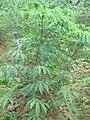 Manihot esculenta - Tapioca - Cassava at Periya (1).jpg