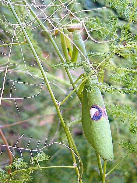 File:Mantis religiosa 1.jpg