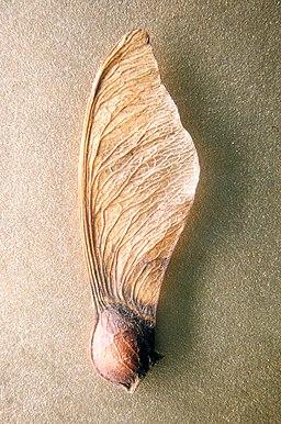 Maple-seed