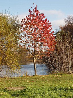 Maple with autumn leaves, by Osterley lake. - geograph.org.uk - 621358