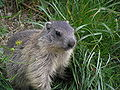 Marmot young2.JPG