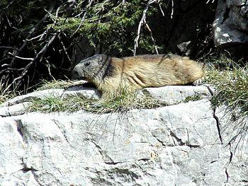 Marmota marmota DR200407-125