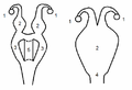 Marsupial and eutherian sexual organ female.png
