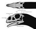 Massospondylus Skull Steveoc 86.png
