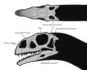 This Massospondylus skull shows the two temporal fenestrae typical of diapsids.
