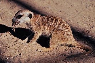 Meerkat - Meerkat eating a frog