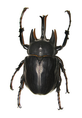 Megasoma acteon male.JPG