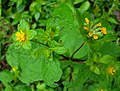 Melampodium perfoliatum, the Perfoliate Blackfoot (9439361046).jpg