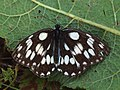 Melanargia galathea - Marbled white - Галатея (27292179308).jpg