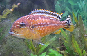Genome evolution - Cichlids such as Tropheops tropheops from Lake Malawi provide models for genome evolution.