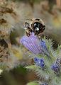 Melitturga pictipes female 2.jpg