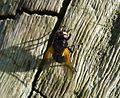 Mesembrina meridiana - Flickr - gailhampshire.jpg