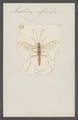 Mesoleius - Print - Iconographia Zoologica - Special Collections University of Amsterdam - UBAINV0274 046 06 0145.tif
