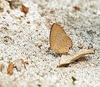 Metallic Cerulian (Jamides alecto) at Jayanti, Duars, West Bengal W IMG 5389.jpg