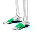 Metatarsal bones04.png