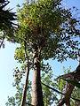 Metophium brownei.JPG