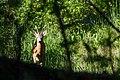 Metskits - Roe Deer - Capreolus capreolus (1).jpg